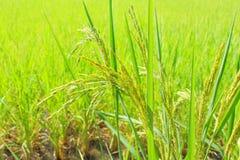 Groupe haut étroit d'arbre de riz à l'arrière-plan naturel de modèles de champ photographie stock libre de droits