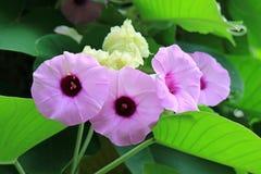 Groupe haut fermé d'Argyreia rose pourpre vibrant Nervosa ou matin laineux Glory Flowers avec les feuilles vertes photographie stock
