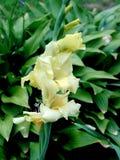 Groupe jaune pâle de glaïeul Image stock