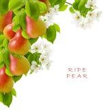 Groupe juteux jaune rouge mûr de fruit de poire sur une branche avec des fleurs et des feuilles vertes d'isolement sur un fond bl photo libre de droits