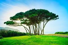 Groupe maritime d'arbre de pin près de mer et de plage r Photo stock
