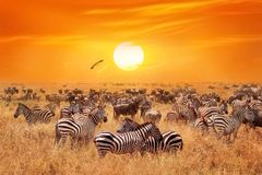 Groupe Of Wild Zebras And Antelopes In The African Savanna Against A Beautiful Orange Sunset. Wild Nature Of Tanzania. Stock Photography