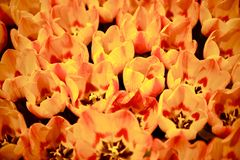 Groupe orange de tulipes Image stock