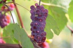 Groupe parfait de raisins Concorde Images libres de droits