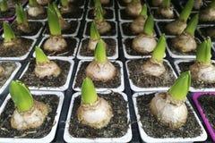 Groupe poussé d'usines à bulbes, jacinthes, tulipes dans des pots, dans la boutique, en serre chaude, configuration plate Images libres de droits