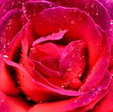 Groupe rose de rouge Image stock