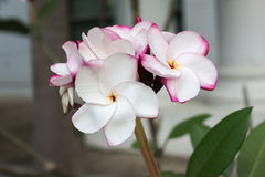 Groupe rose doux de plumeria de fleur et fond naturel Images stock