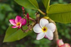 Groupe rose doux de plumeria de fleur et fond naturel Image libre de droits