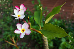 Groupe rose doux de plumeria de fleur et fond naturel Photos stock