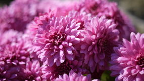 Groupe rose-foncé de chrysanthème Photographie stock libre de droits