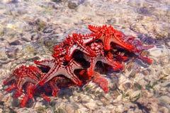 Groupe rouge d'étoiles de mer Image stock
