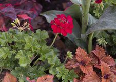 Groupe rouge de fleur de géranium dans un lit chez Dallas Arboretum images stock