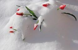 Groupe rouge de tulipes jetant un coup d'oeil par la neige d'hiver Photographie stock libre de droits