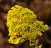 Groupe splendide de fleurs sauvages d'aeonium Images libres de droits
