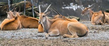 Groupe van gemeenschappelijke zuidelijke elandantilopeantilope of taurotragus oryx stock foto