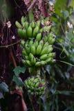 Groupe vert de banane au bananier Photographie stock