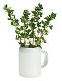Groupe vert frais de thym dans le petit noggin en céramique Image libre de droits
