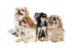 Groupe von 3 Pekingeses und Chihuahua Stockbilder