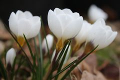 Groupe of white flowering crocusses. White flowering crocusses in spring Royalty Free Stock Images