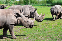 Groupe of a white rhinoceros Stock Photos