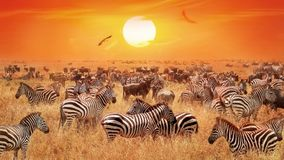 Groupe of wild zebras and antelopes in the African savanna against a beautiful orange sunset. Wild nature of Tanzania. Artistic natural african image stock photography