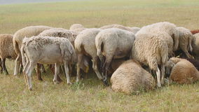 Grouped flock of sheep grazing on a summer day.