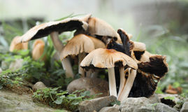 Grouped  forest mushroom Royalty Free Stock Image