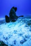 Grouper αιωρείται κοντά σε μια άγκυρα στοκ εικόνες