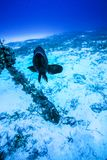 Grouper κοντά σε μια άγκυρα στοκ εικόνες