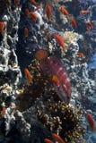 grouper κοραλλιών Ερυθρά Θάλα&sigma Στοκ εικόνες με δικαίωμα ελεύθερης χρήσης