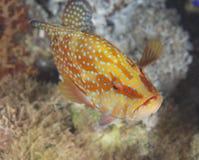 grouper κοραλλιών σκόπελος Στοκ Εικόνες