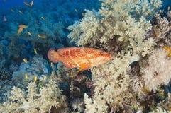 grouper κοραλλιών σκόπελος Στοκ φωτογραφία με δικαίωμα ελεύθερης χρήσης