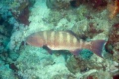 grouper κοραλλιών Στοκ εικόνα με δικαίωμα ελεύθερης χρήσης