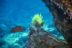grouper κοραλλιών cephalopholis λατινικό όνομα miniata Στοκ φωτογραφίες με δικαίωμα ελεύθερης χρήσης