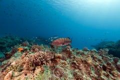 Grouper κοραλλιών και τροπικός σκόπελος στη Ερυθρά Θάλασσα. Στοκ Φωτογραφίες