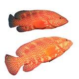 Grouper κοραλλιών ψάρια Στοκ Εικόνες