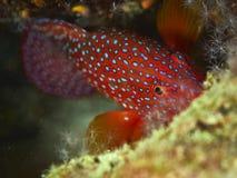 grouper κοραλλιών cephalopholis λατινικό όνομα miniata Στοκ εικόνες με δικαίωμα ελεύθερης χρήσης