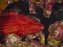 grouper κοραλλιών cephalopholis λατινικό όνομα miniata Στοκ Φωτογραφίες