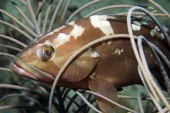 grouper κόκκινο Στοκ εικόνες με δικαίωμα ελεύθερης χρήσης