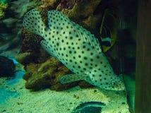 Grouper πάνθηρων Στοκ εικόνες με δικαίωμα ελεύθερης χρήσης