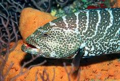 grouper τίγρη Στοκ φωτογραφία με δικαίωμα ελεύθερης χρήσης