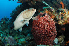 Grouper ψάρια και σφουγγάρι βαρελιών Στοκ φωτογραφίες με δικαίωμα ελεύθερης χρήσης