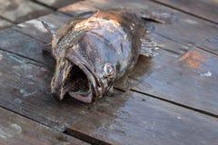 Grouper ψάρια στη βάρκα Στοκ εικόνα με δικαίωμα ελεύθερης χρήσης