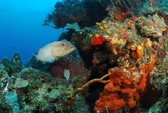 Grouper ψάρια Στοκ εικόνες με δικαίωμα ελεύθερης χρήσης
