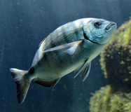 Grouper ψάρια Στοκ Εικόνες