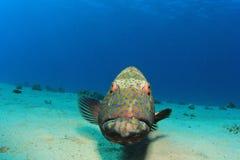 Grouper ψάρια Στοκ Εικόνα