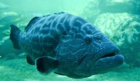 Grouper ψάρια Στοκ φωτογραφία με δικαίωμα ελεύθερης χρήσης
