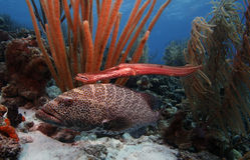 grouper ψαριών σάλπιγγα τιγρών Στοκ φωτογραφία με δικαίωμα ελεύθερης χρήσης