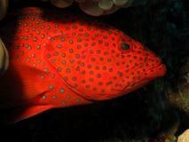 grouper коралла задний Стоковое Изображение RF