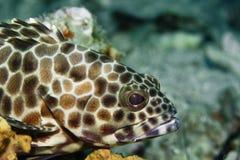 grouper коралла Стоковая Фотография RF